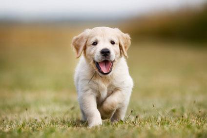 Möchte man einen Hund kaufen, muss man bedenken, dass es sich nicht um einen Gegenstand, sondern um ein Lebewesen mit Gefühl, Verstand und Herz handelt.