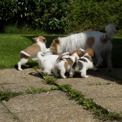 jack-russell-pups-5