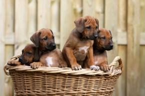 Spezielle Zuchtprogramme helfen dem Hundezüchter bei der Zucht gesunder Hundewelpen.