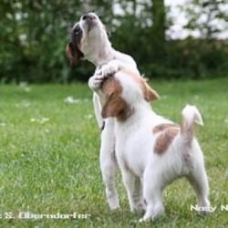 Nosy Nostril – Parson Russell Terrier Welpen vom Züchter im KfT
