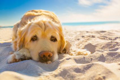 Damit die Ferien mit Hund ein voller Erfolg werden, sollte man vorher abklären, ob Hunde am Urlaubsort auch an den Strand dürfen.