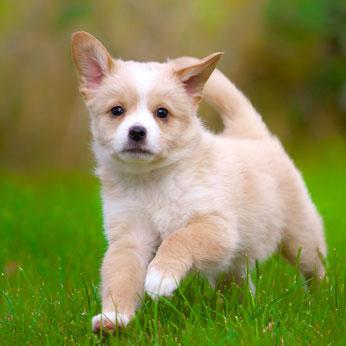 Wenn man einen Welpen kaufen möchte, sollte man bedenken, dass aus ihm sehr schnell ein erwachsener Hund wird.