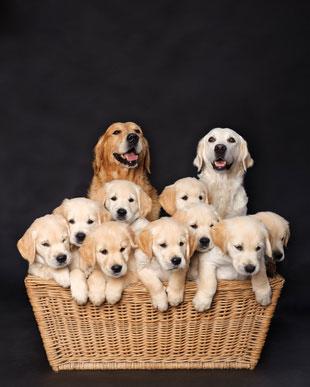 Wenn man einen Welpen kauft, sollte man sich an einen seriösen Hundezüchter wenden.