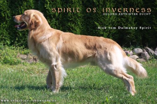 Deckrude Golden Retriever Zucht Spirit Of Inverness Berlin Brandenburg Hunde Kaufen