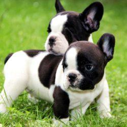 französische-bulldogge-welpen
