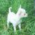 Chihuahua mini - Bild3