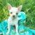 Chihuahua mini - Bild1