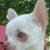 Chihuahua mini - Bild4