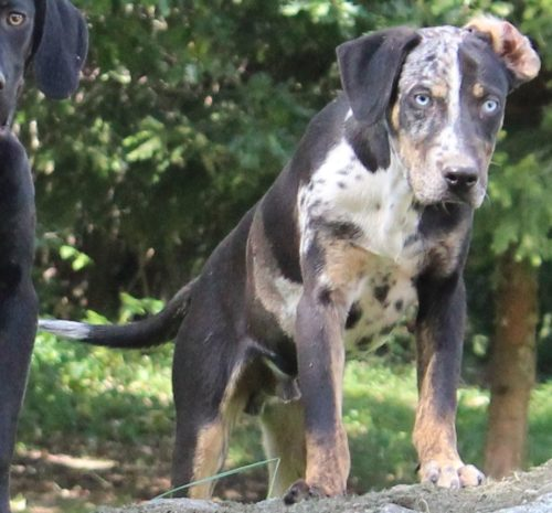 Welpen Leopard Dog Catahoula Hunde Kaufen