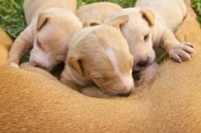 Ein guter Hundezüchter kümmert sich frühzeitig um eine gute Sozialisation der Welpen.