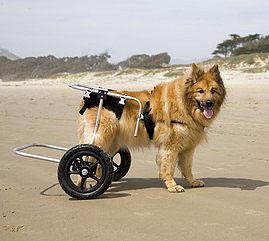 Hunde Rollator bei Arthritis