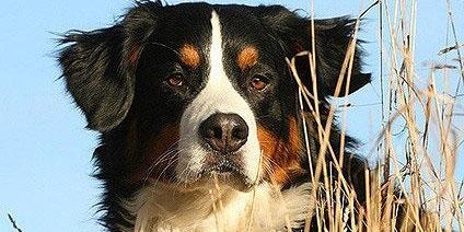 Berner Sennenhund1