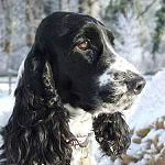 Cocker Spaniel Hund