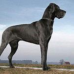 Deutsch Dogge Rasse