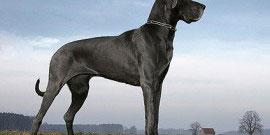 Deutsche_Dogge_Hund