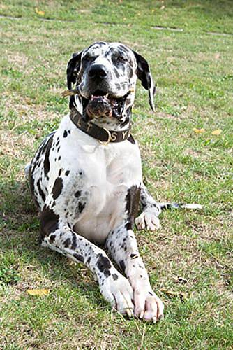 Deutsche Dogge Hund