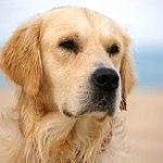 Der friedliche und kinderliebe Golden Retriever wird immer wieder an erster Stelle genannt, wenn es um den idealen Familienhund geht. Aber auch Hunde anderer Rassen eignen sich sehr gut al Familienhunde.