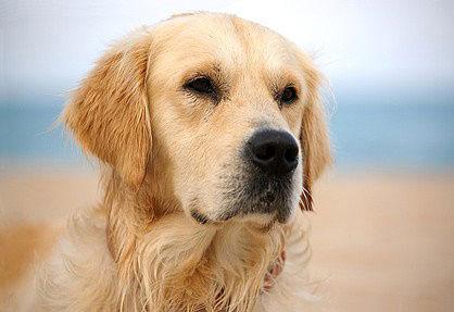 Golden Retriever haben eine ideale Eignung als Familienhunde.