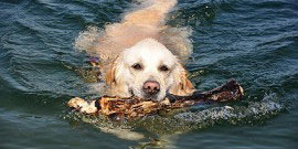 Golden_Retriever_Rasse