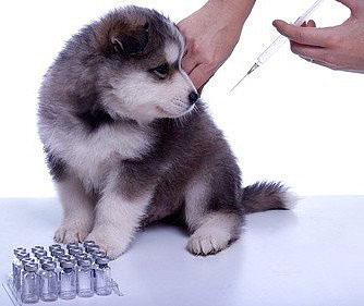 Gegen Hepatits bei Hunden kann vorbeugend geimpft werden