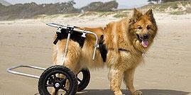 Hueftdysplasie-Rollator-Hund