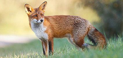 Der Fuchsbandwurm wird durch den Rotfuchs übertragen