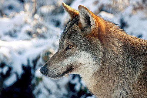 Der Hund stammt von ca. 35 verschiedenen Wolfsarten ab.