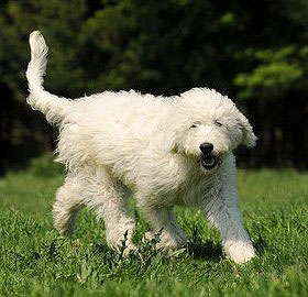 Die neue Hunderasse Goldendoodle ist sehr beliebt.