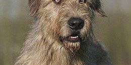 Der Irish Wolfhound ist mit 96 Zentimer Widerristhöhe die größte Hunderasse.