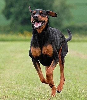 Erziehung eines Dobermann in der Hundeschule
