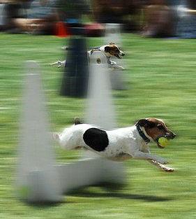 """Hundesport Flyball ist ein """"Mannschaftssport"""" für HUnde."""