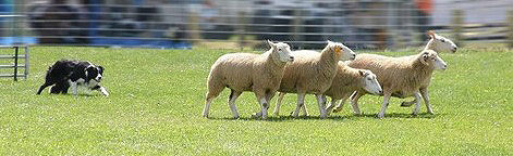 Besonders Schäferhunde und Border Collies, wie auch Australien Shepherds eignen sich für das Leistungshüten.