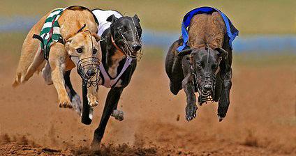 Beim Hundesport Windhundrennen rennen die Windhunde über 480 Meter einem an einem Seil geführten Stoffbündel hinterher.