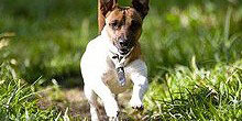 Jack_Russell_Terrier_Hund