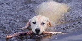 Labrador_Retriever_Hunde