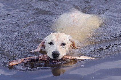 Labrador Retriever Hunderasse