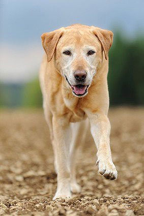 Labrador Retriever Hund