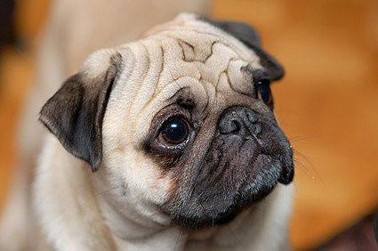 Carlin Mops Hund