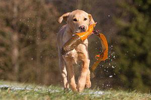 Die Stärke der Labradore beim Obedience: Apportieren aus dem Wasser.