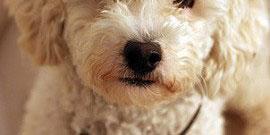 Pudel_Hund