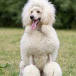 Königspudel Hunde