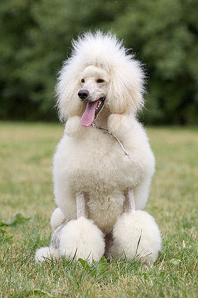 Image Result For Poodles For Sale In Colorado