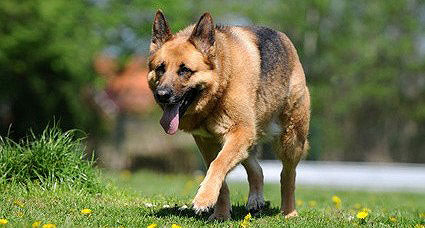 Die Hüftdysplasie ( HD ) kann beim Schäferhund auftreten.