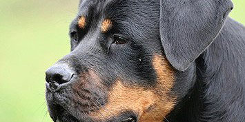Rottweiler_Hund