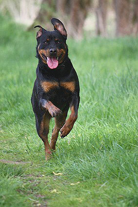 Rottweiler Hund