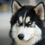 Siberian_Husky_Hunde