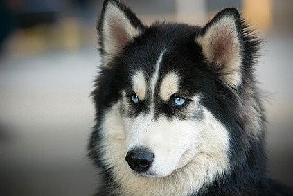 Schlittenhunde schaffen in 24 Stunden Distanzen bis zu 200 Kilometer.