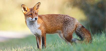 Tollwut wird durch den Fuchs übertragen