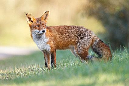 Der Fuchs kann Tollwut übertragen
