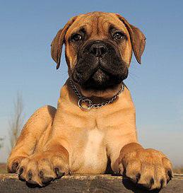 Welpenerziehung bei Kampfhunden
